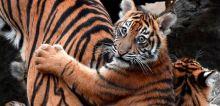 BKSDA Telusuri Informasi Matinya Bayi Harimau di Kebun Binatang Bukittinggi
