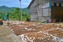 Gara-gara Covid-19, Harga Gambir di Pesisir Selatan Anjlok