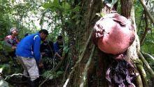 Dalam Pekan Ini, 7 Bunga Rafflesia akan Mekar di Cagar Alam Maninjau