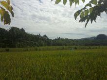 Perkuat Ketahanan Pangan, Pasaman Barat Catak Sawah Baru 30 Hektar di Ranah Batahan