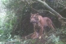 Warga Gantuang Ciri Solok Diresahkan Munculnya Kawanan Harimau