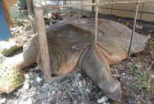 Kura-kura Raksasa Seberat 50 Kg Ditemukan di Sungai Batang Kalulutan Agam