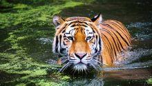Harimau Masuk Kampung di Sijunjung, Sejumlah Ternak Dimangsa