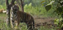 Warga Lubuk Sikaping Pasaman Resah, Ternaknya Mati Dimangsa Harimau
