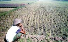 Kasihan... 1.000 Hektare Sawah Terancam Kekeringan di Pesisir Selatan