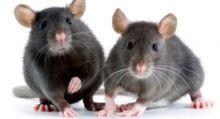 Tragis... Bayi Baru Lahir Tewas Dimakan Tikus di Rumah Sakit