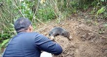 Anak Beruang Madu Terjerat Perangkap Babi di Pasaman Barat