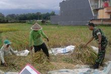 Motivasi Petani, Aparat TNI di Sawahlunto Laksanakan Panen Bersama