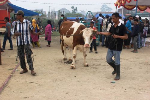 Limapuluh Kota Juarai Kontes Ternak Livestock Expo