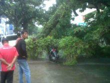 Guru SMA Painan Nyaris Tewas Ditimpa Pohon di Jalan Veteran Padang