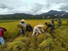 TNI Bantu Petani Panen Padi, Poktan Sehati Nagari Sarilamak Senang