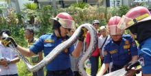 Piton Sepanjang 3 Meter Ditangkap di Pemukiman Warga di Padang