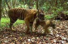 Harimau Kembali Muncul di Palupuah Agam, BKSDA Sumbar Lepas Kambing untuk Umpan tapi Belum Berhasil