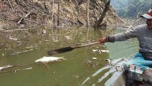 Diduga Tercemar Tambang Timah, Ribuan Ikan Mati di Hulu Sungai Batang Maek Pangkalan