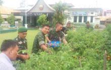 Tomat Demplot Pertanian Kodim 0312/Padang Berbuah, Dandim Ikut Panen